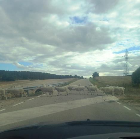 Cediendo el paso a las ovejas